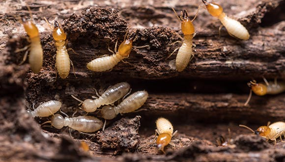 Termite and wood destroying organisim (WDI) inspection services from Hearn's Real Estate Inspections